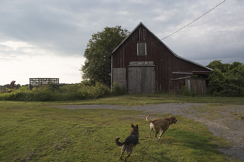 barn and dogs